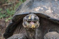 Smiley Giant Tortoise - Chelonoidis nigra. Giant Tortotoise from Isabela in the Galapagos Stock Photo