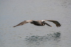 Pelican Hovering Royalty Free Stock Photography