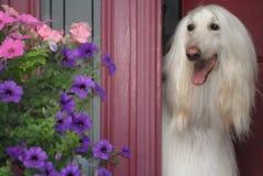 Smiley Gaze-Hound Greeter Spring Doorway imágenes de archivo libres de regalías