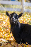 Smiley the Goat II. Picture of a black goat looking like he is smiling and tilting his head against a background of yellow leaves royalty free stock photo