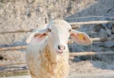 Smiley sheep in a animals farm Royalty Free Stock Images