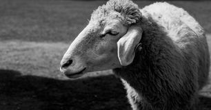 Smiley sheep. Smiley sheep make funny faces standing amid green meadows during the daytime, black and white tone and selective focus Stock Photography