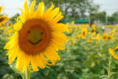 Smiley Sunflower Arkivbilder