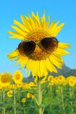 Smiley Sunflower bärande solglasögon royaltyfri foto