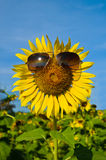 Smiley Sunflower bärande solglasögon royaltyfria foton