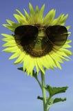 Smiley Sunflower die zonnebril dragen onder blauwe hemel stock fotografie