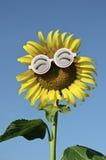 Smiley Sunflower som bär roliga exponeringsglas Fotografering för Bildbyråer