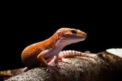 Smileyleopard Gecko-Makro Foto-2 lizenzfreie stockfotos