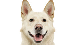 Smilie font face au portrait de chien dans le studio blanc Images stock