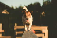 Smiling acrobat dog balancing on a wooden beam Stock Image
