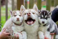 Smiling adult Husky in gray color with two small puppies. Royalty Free Stock Photo