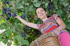 Smiling adult woman harvesting grapes Stock Photography