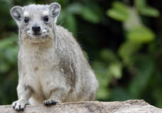 Smiling African hyrax sitting on the stone Royalty Free Stock Image