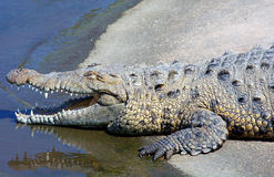 Smiling Alligator. Alligator near the water's edge with his mouth open and squinting eyes Royalty Free Stock Images