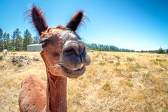A smiling Alpaca in New Zealand. The image is funny and humorous royalty free stock photo