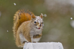 Smiling American Red Squirrel (Tamiasciurus hudsonicus) Royalty Free Stock Image