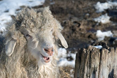 Smiling Angora Goat. Woolly goat that just rolled in hay Royalty Free Stock Image