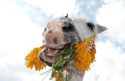 Smiling arabian horse with show halter. Purebred, white arabian horse smiling with its mouth full of plants royalty free stock photography