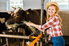 Smiling attractive farmer feeding cows with hay. In stable royalty free stock images
