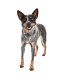 Smiling Australian Cattle Dog Standing. An Australian Cattle Dog standing while looking at the camera and smiling stock photos