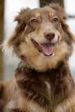 Smiling Australian Shepherd Royalty Free Stock Image