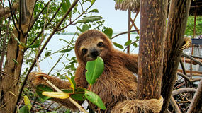 Baby sloth eating mangrove leaf. Smiling baby Brown-throated Three-toed sloth in the mangrove, Caribbean,  Costa Rica Royalty Free Stock Photography