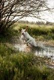 smiling Basset hound dog standingin on grass in water. green background stock photo
