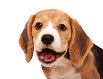 Beagle puppy portrait 2 Royalty Free Stock Photography