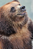 A smiling bear. A smiling and friendly bear with his mouth opened, shown as animal and nature life Stock Photos