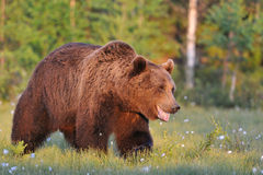Smiling bear. Walking in a bog area Royalty Free Stock Photo