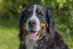 A smiling Bernese Mountain Dog. A female Bernese Mountain Dog smiling to the camera against a green summer background Royalty Free Stock Photography