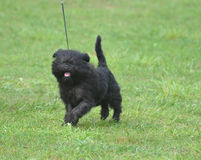 Smiling Black Affenpinscher Dog. Really cute affenpinscher dog with a pink tongue Stock Images