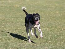 Smiling black dog running towards the camera Royalty Free Stock Photo