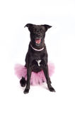 Smiling Black Mixed-Breed Dog in Pink Tutu and Pea. A happy, smiling, black, mixed-breed dog wearing a ballerina costume, consisting of a pink tutu and a pink Stock Photos