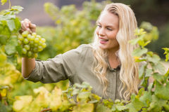 Smiling blonde winegrower holding a grape Stock Photo