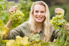 Smiling blonde winegrower holding grapes Stock Photos