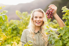 Smiling blonde winegrower holding a red grape Royalty Free Stock Photography