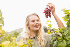 Smiling blonde winegrower holding a red grape Stock Photo
