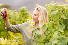 Smiling blonde winegrower holding a red grape Royalty Free Stock Photo