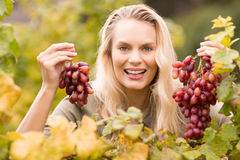Smiling blonde winegrower holding red grapes Stock Photography