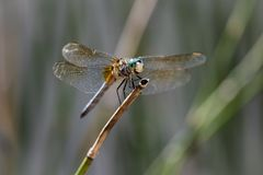 Smiling Blue Dasher Dragonfly sitting on reed royalty free stock photo