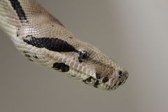 Smiling boa. Columbian red-tailed Boa constrictor Royalty Free Stock Photo