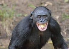 Smiling Bonobo Stock Photo