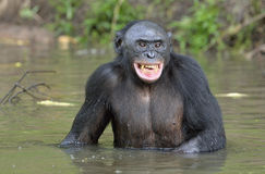 Smiling Bonobo standing in water looks for the fruit which fell in water. Stock Photos