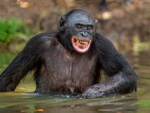 Smiling Bonobo in the water. Natural habitat. The Bonobo Pan paniscus, called the pygmy chimpanzee. Democratic Republic of stock images
