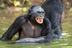Smiling Bonobo in the water. stock photos