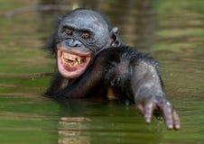 Smiling Bonobo in the water. stock image