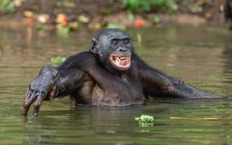Smiling Bonobo in the water. royalty free stock photos