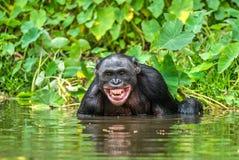 Smiling Bonobo in the water. Bonobo in the water with pleasure and smiles. Bonobo Pan paniscus. Democratic Republic of Congo. Africa Stock Photo