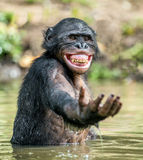 Smiling Bonobo in the water. Bonobo in the water with pleasure and smiles. Bonobo standing in pond looks for the fruit which fell in water. Bonobo Pan Stock Images